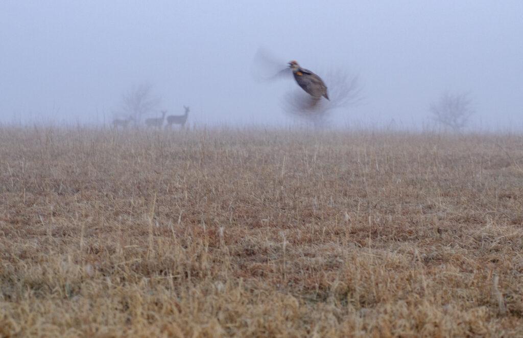 Prairie Chickens04052019_048