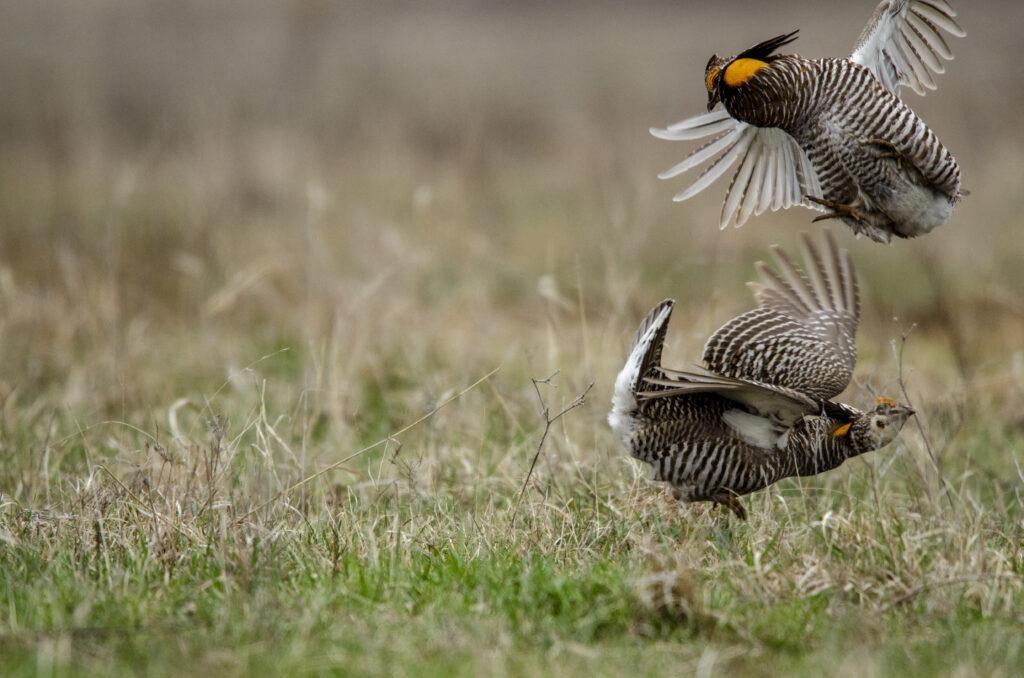 Prairie Chickens040520200988