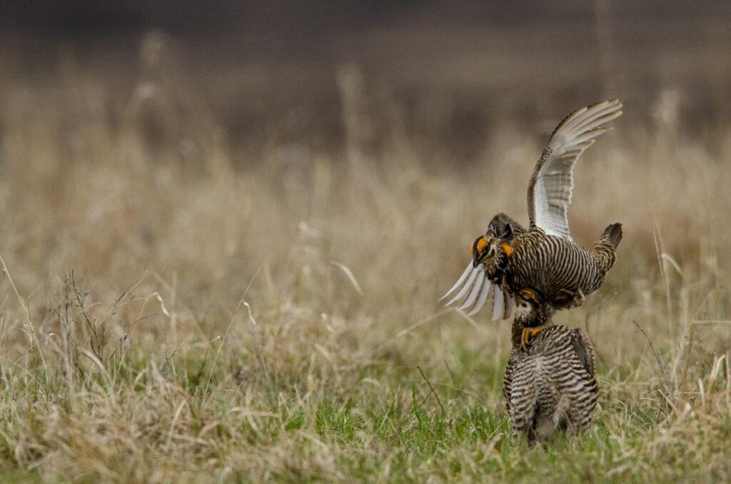 Prairie Chickens040520201106