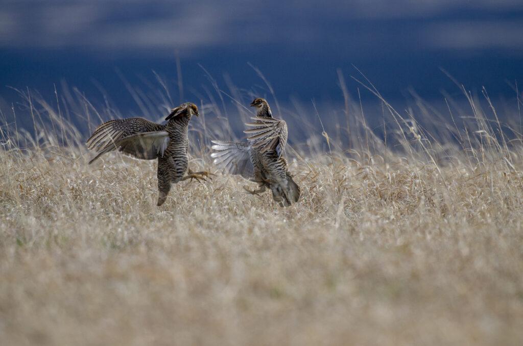 Prairie Chickens04062019_557