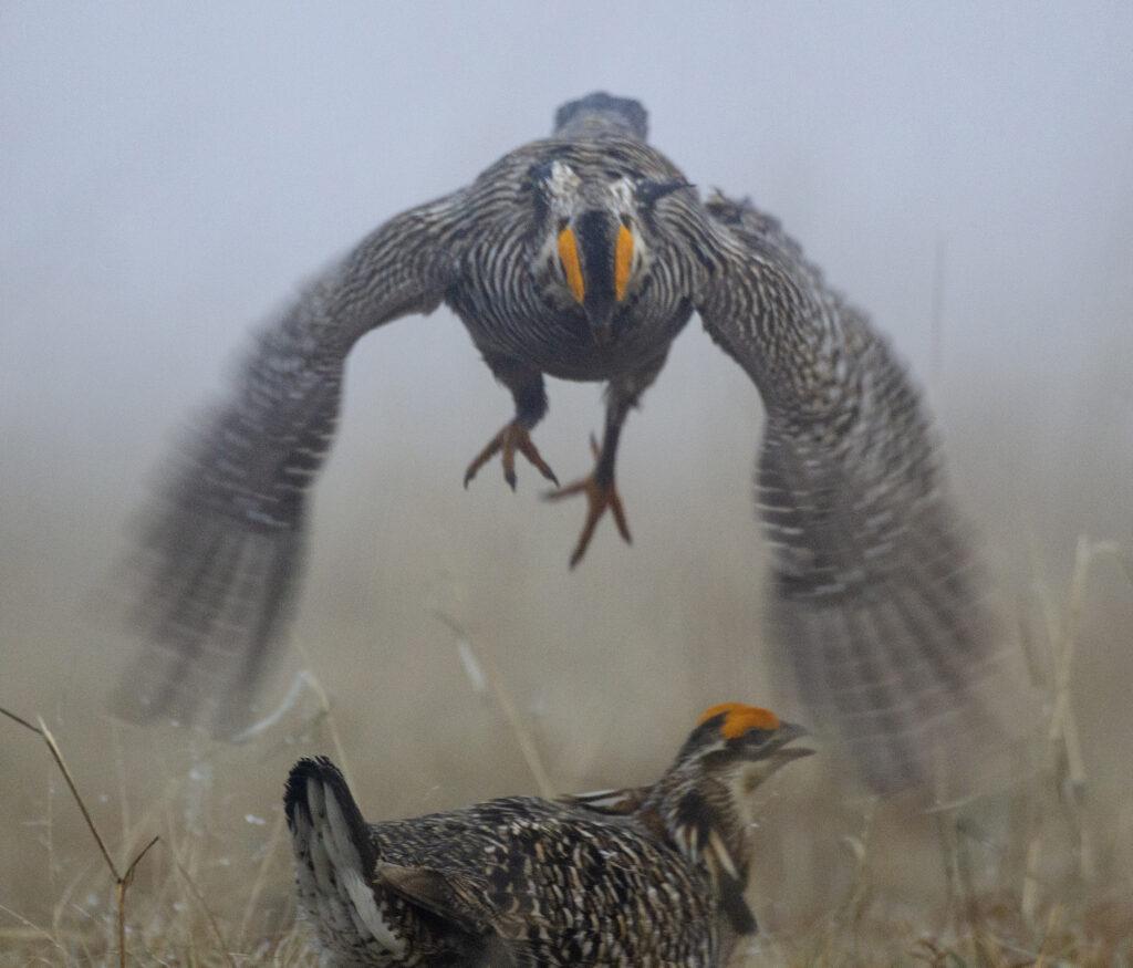 Prairie Chickens04072019_146