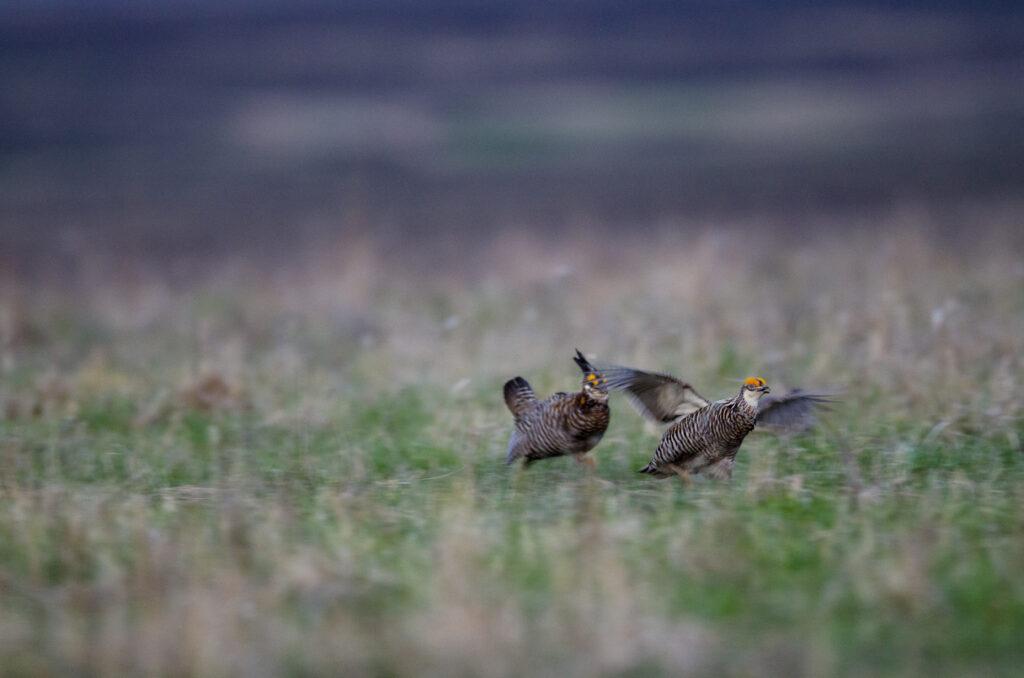 Prairie Chickens04082020_0090