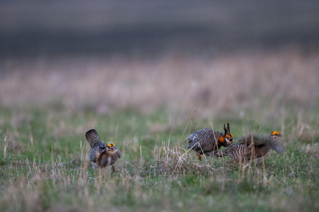 Prairie Chickens04082020_0173