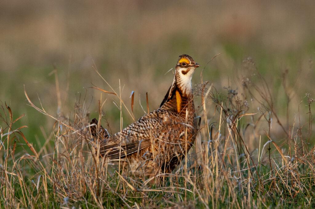 Prairie Chickens04082020_0362