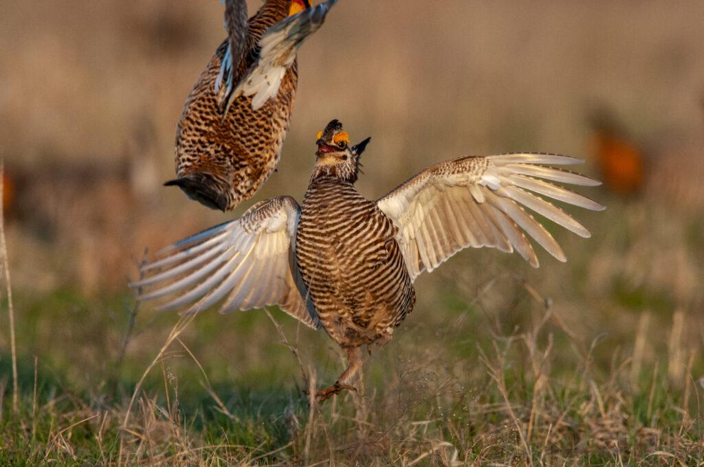 Prairie Chickens04082020_0399