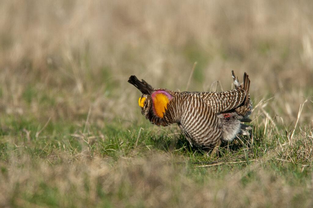 Prairie Chickens04102020_0078