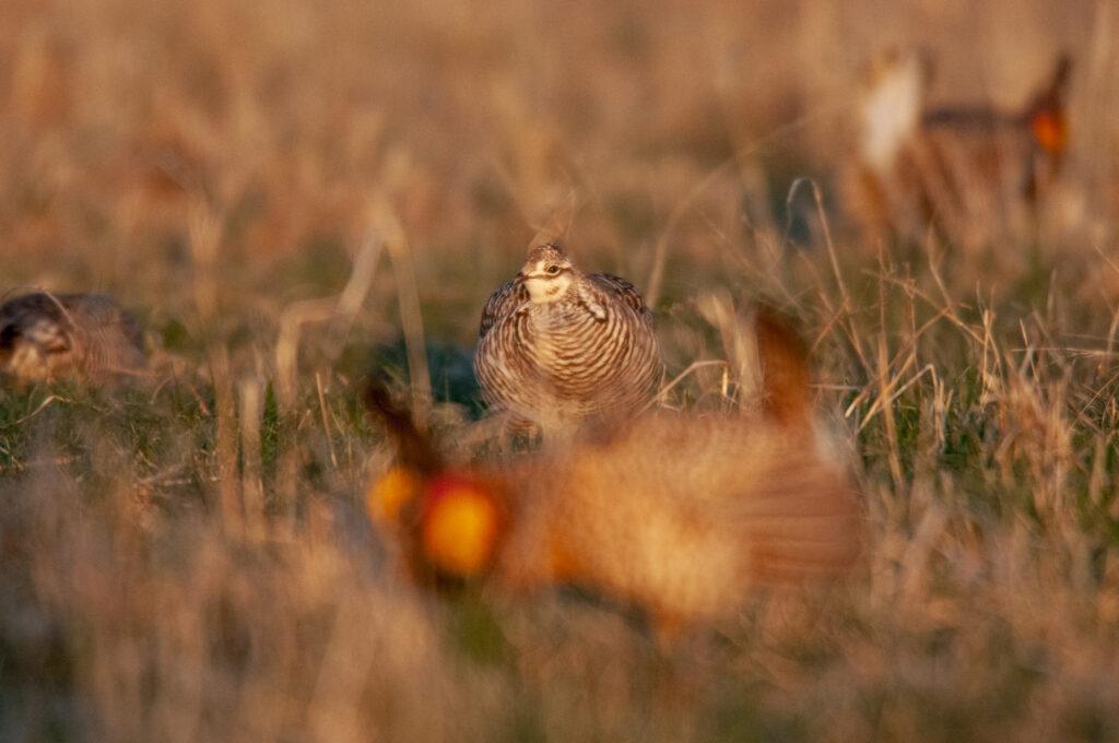 Prairie Chickens04102020_0270