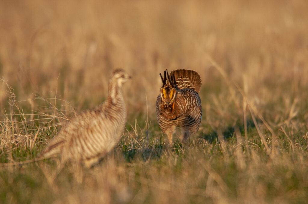 Prairie Chickens04102020_0418