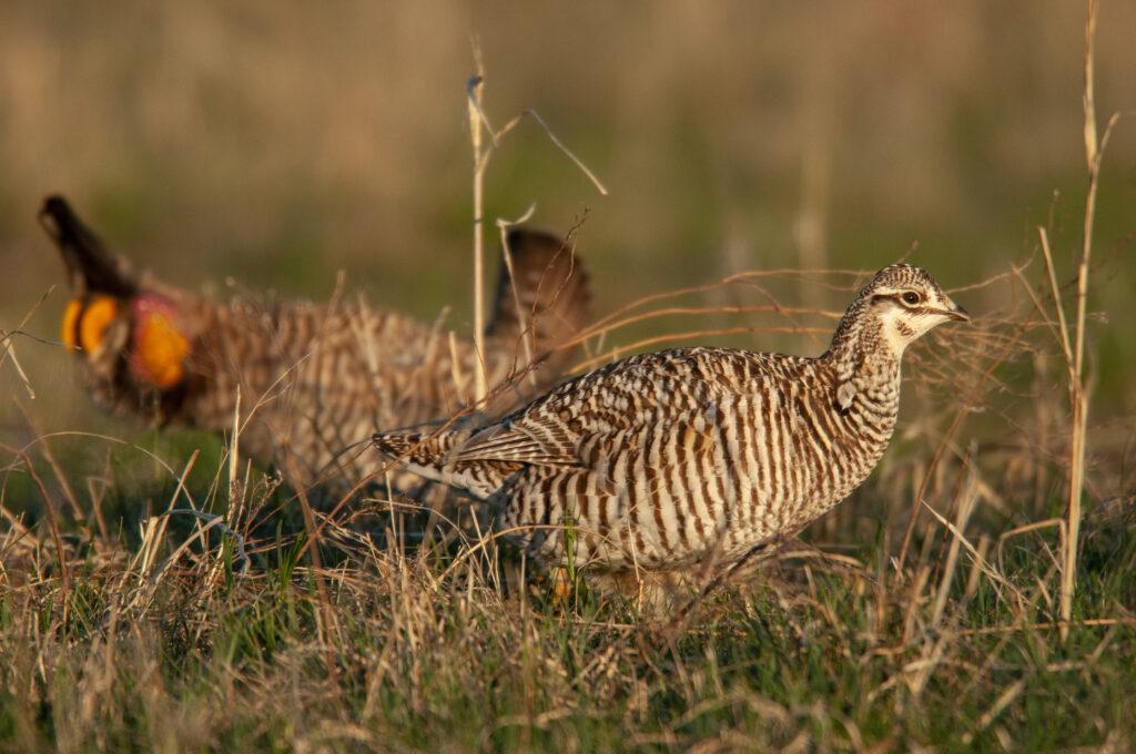 Prairie Chickens04102020_0553