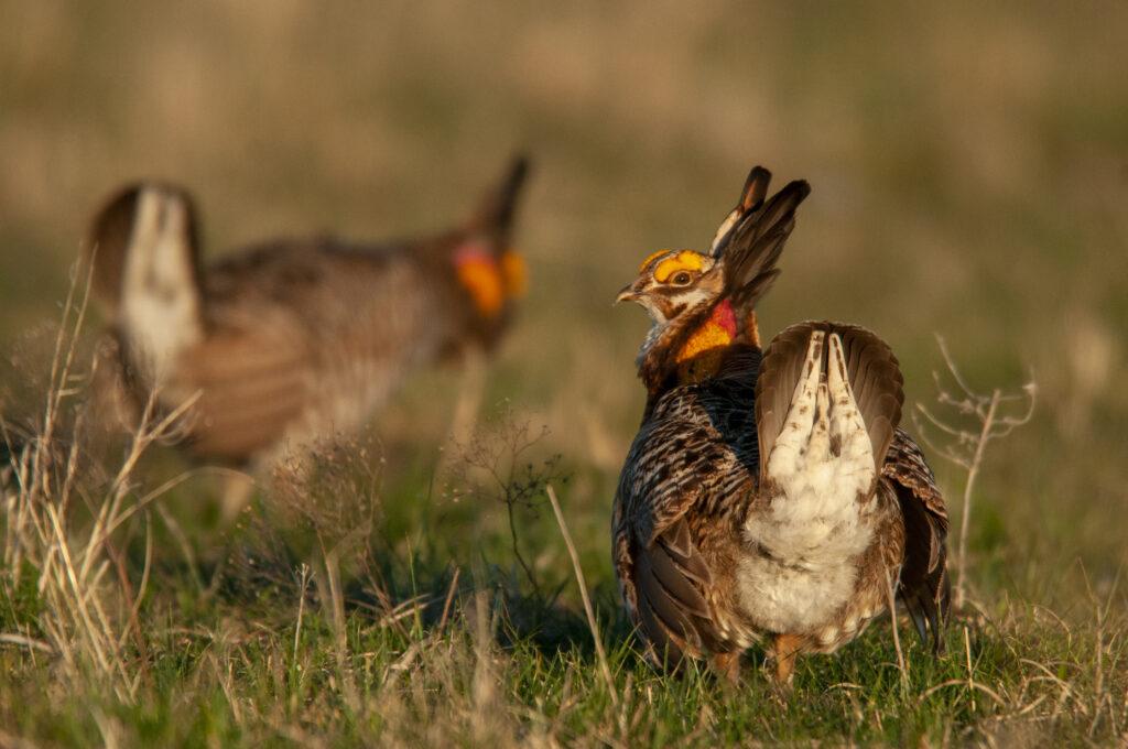 Prairie Chickens04102020_0594