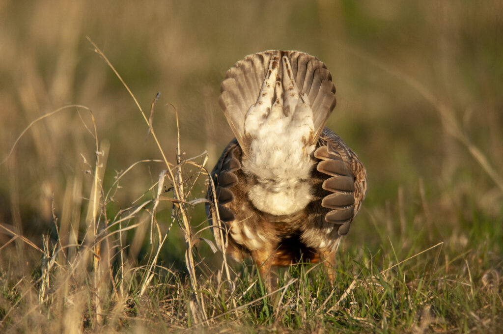 Prairie Chickens04102020_0622