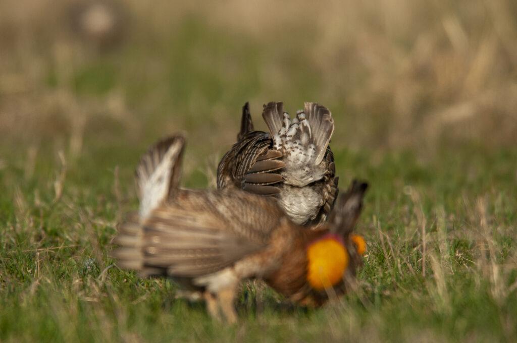 Prairie Chickens04102020_0839