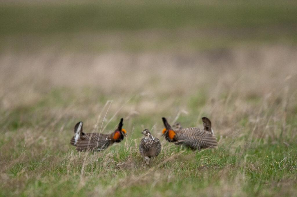 Prairie Chickens04122020_0301