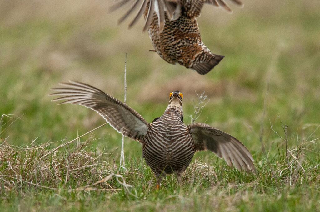 Prairie Chickens04122020_0547