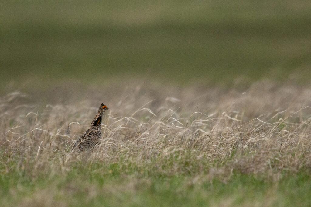 Prairie Chickens04122020_0704