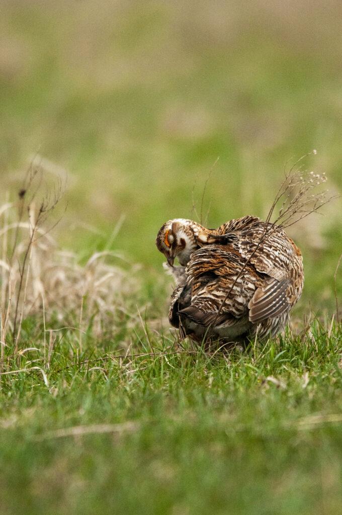 Prairie Chickens04122020_1182