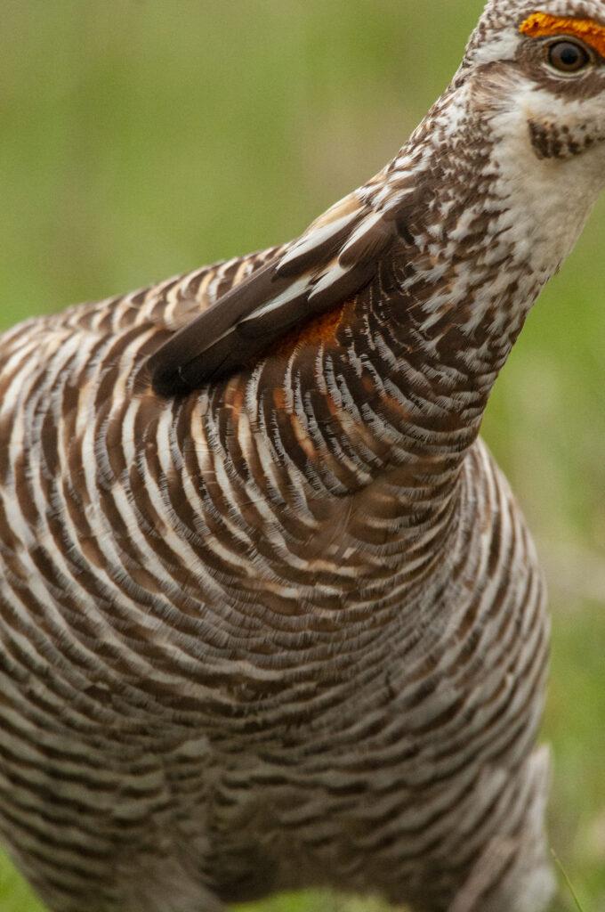 Prairie Chickens04122020_1249