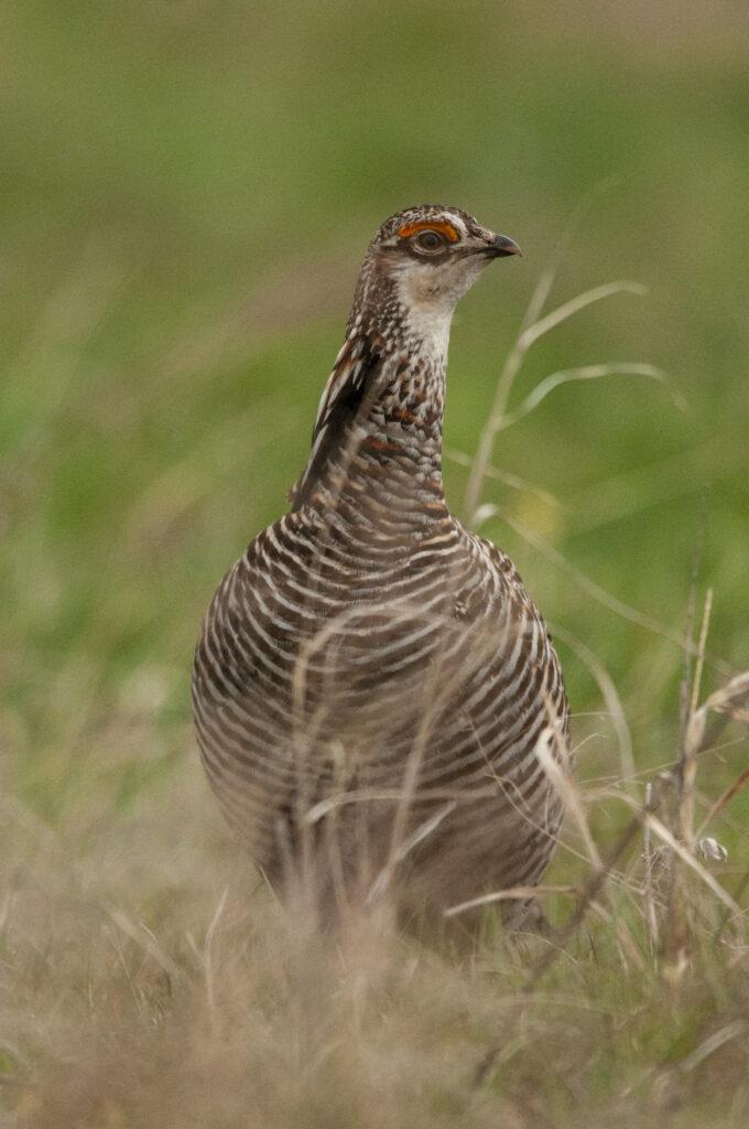 Prairie Chickens04122020_1329