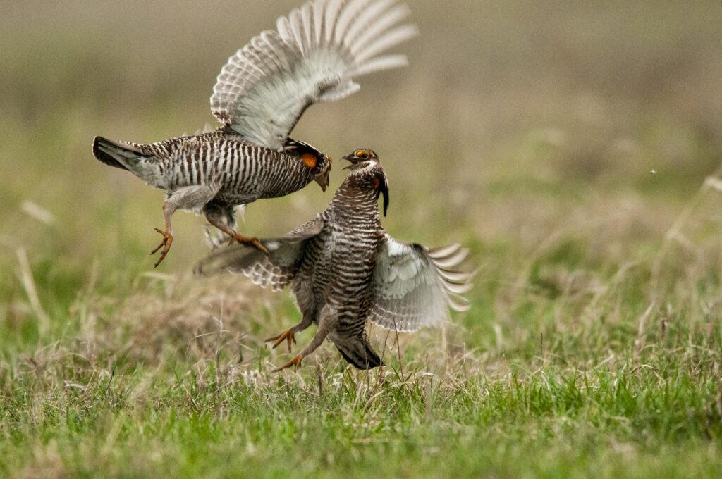 Prairie Chickens04122020_1491