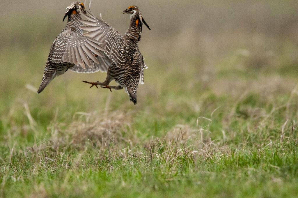 Prairie Chickens04122020_1509