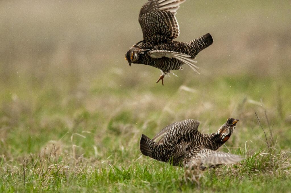 Prairie Chickens04122020_1532