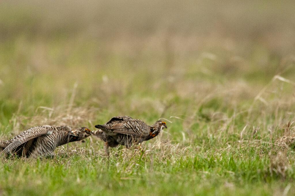 Prairie Chickens04122020_1582