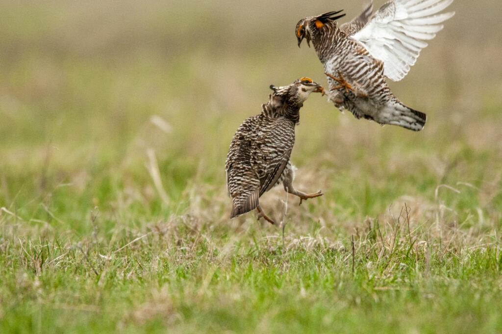 Prairie Chickens04122020_1606