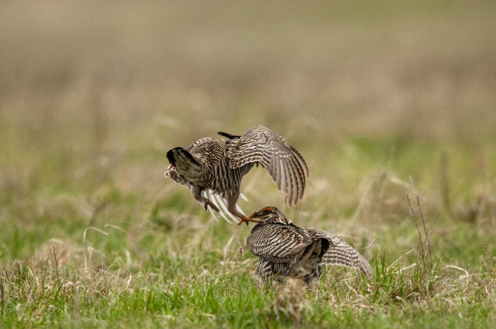 Prairie Chickens04122020_1611