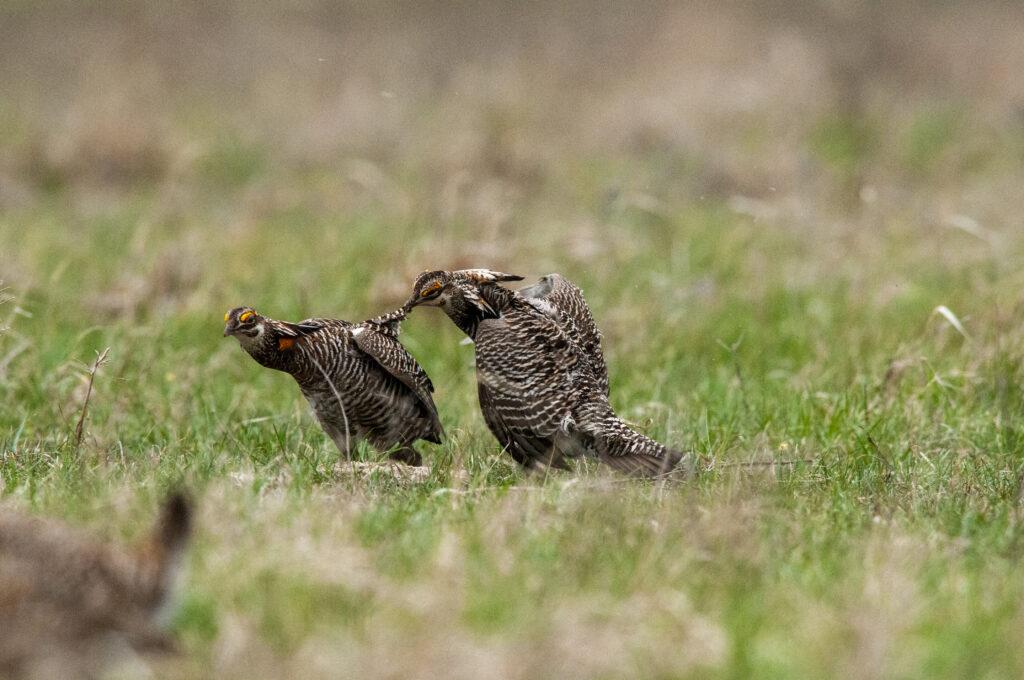 Prairie Chickens04122020_1690