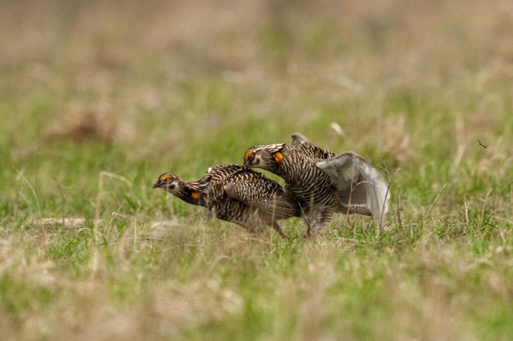 Prairie Chickens04122020_1804