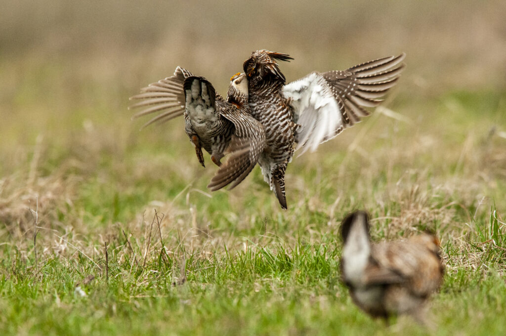 Prairie Chickens04122020_1807
