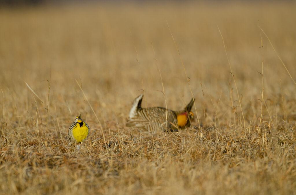 Prairie Chickens22032019_0436