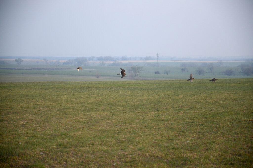prairie chickens041220141162