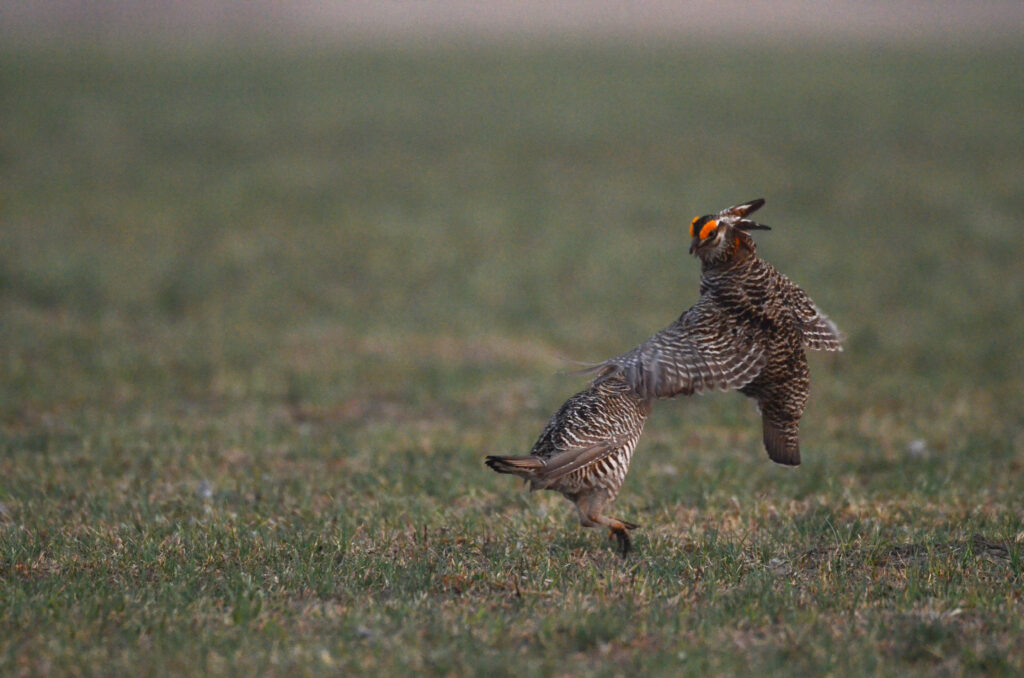 prairie chickens041220142047