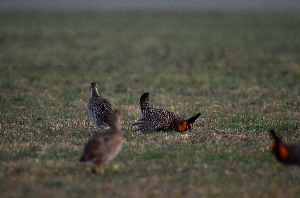 prairie chickens041220142062