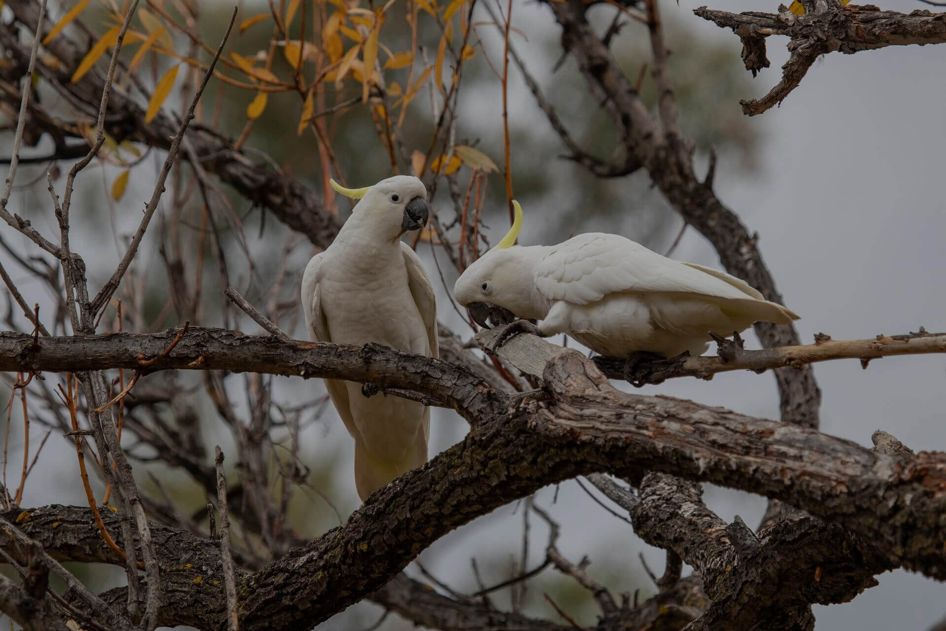 A pair of cockatoos