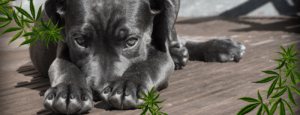 Veterinary Cannabis: Uses, Products, Stigmas, Research and Beyond