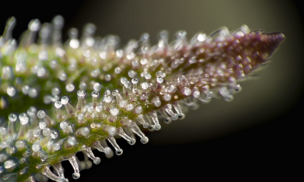 Trichomes up close