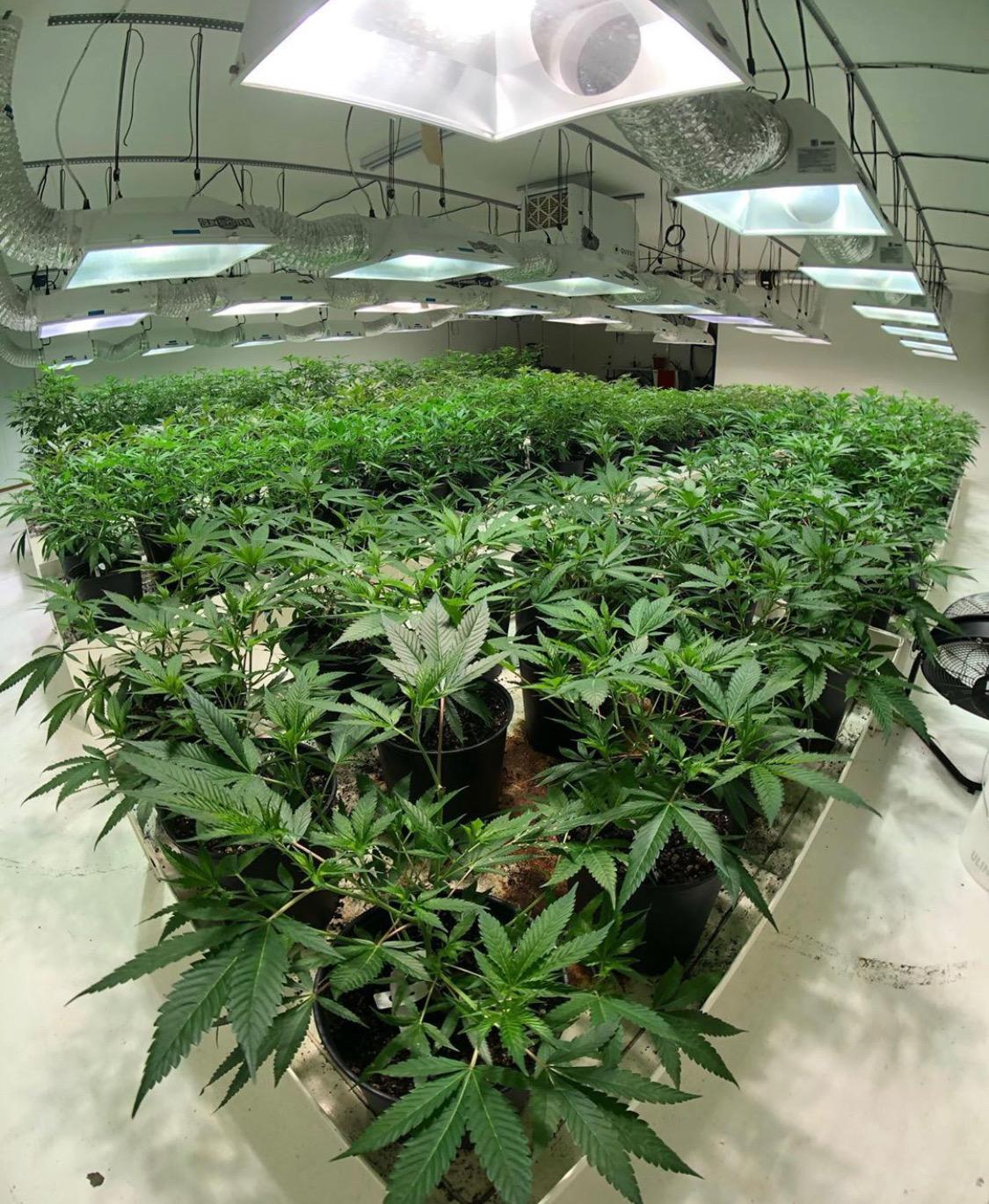 Cannabis Grow