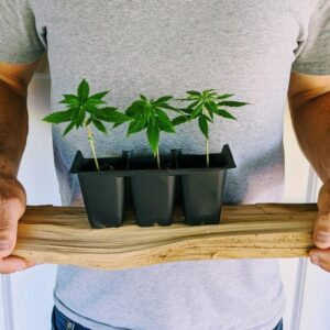 3 Organic CBD Hemp Seedlings