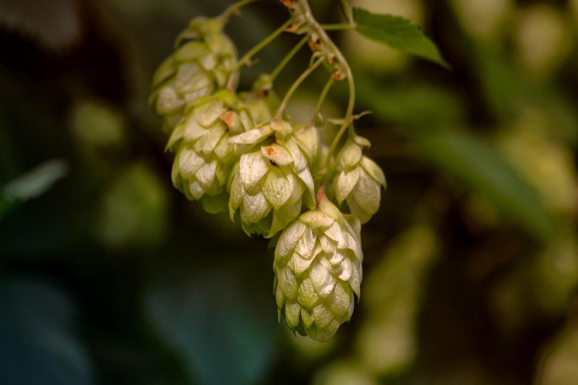 Humulene hops