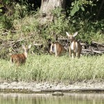 Fawn on Potomac River