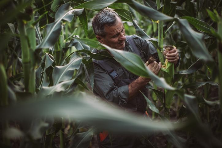 Farmer Inspecting Corn
