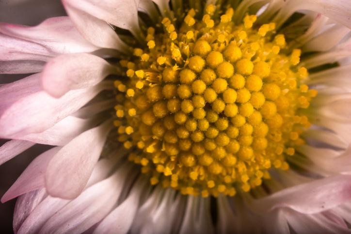 Daisy flower detail