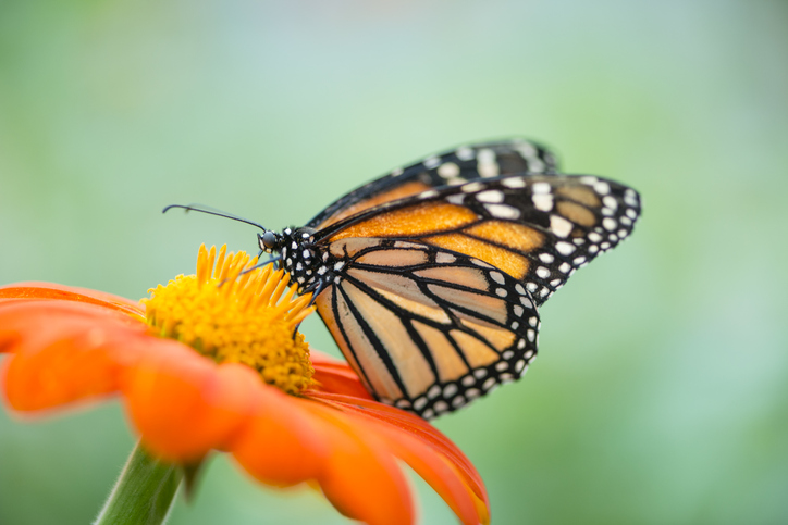 Monarch butterfly over a flower