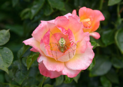Spider on a rose by Cynthia Graham