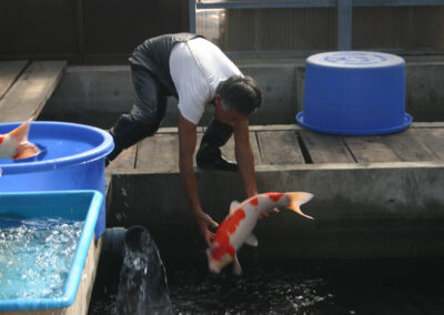 Moving Dainichi Koi to display pond