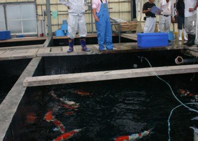 Japanese Koi Farm breeders