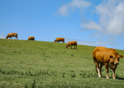 cows-on-a-hill UK