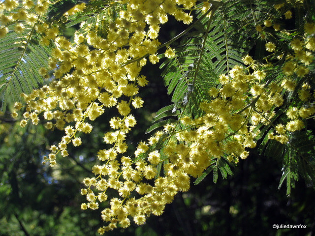 delicate yellow mimosa flowers